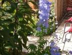 Verkehrte Welt, Ritterspornblüte im Oktober